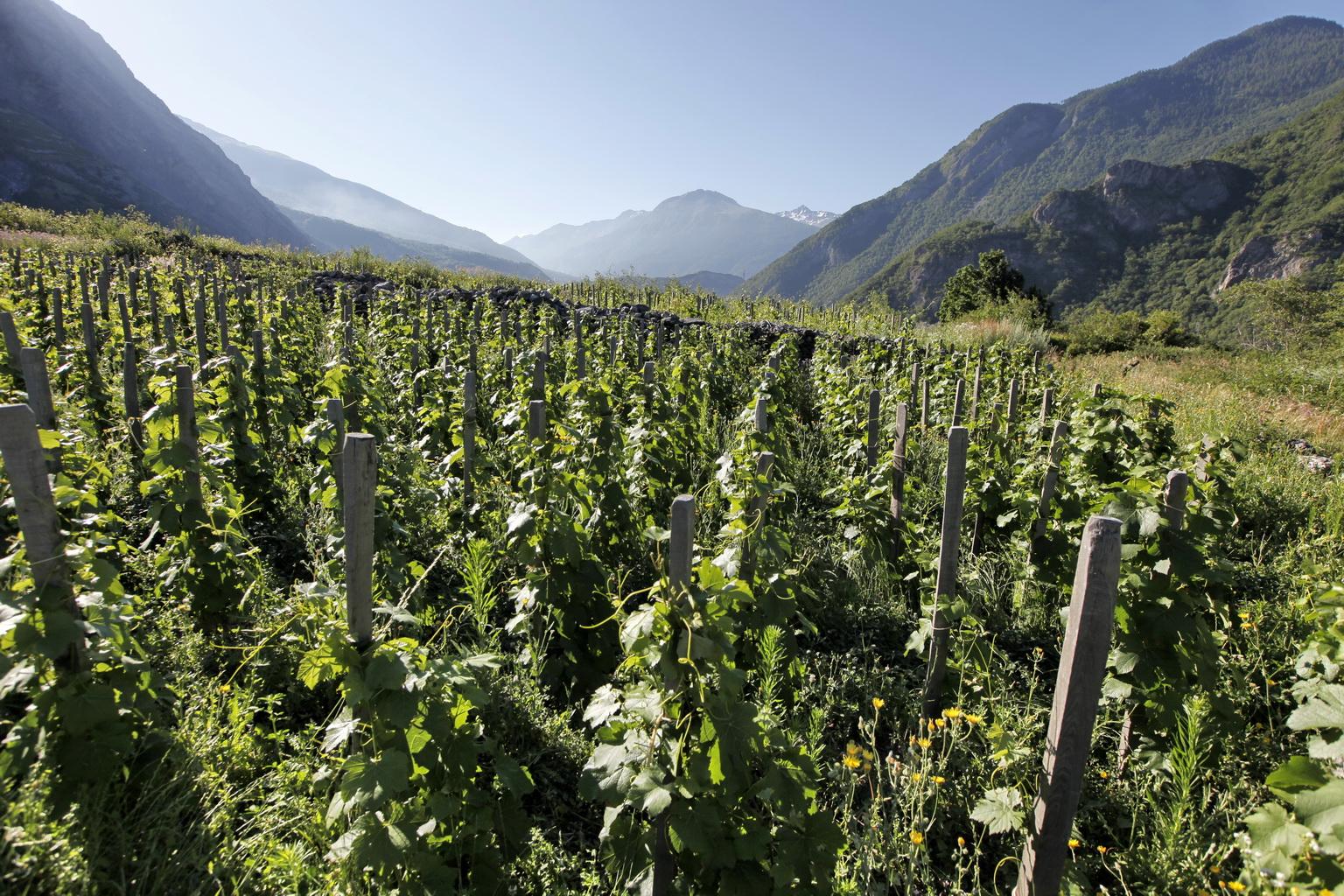 Vignes de Maurienne - Jean-Marc Blache